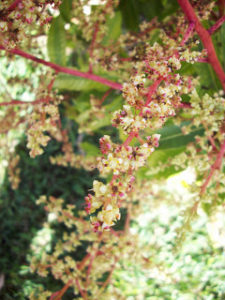 Mango Flowers 013